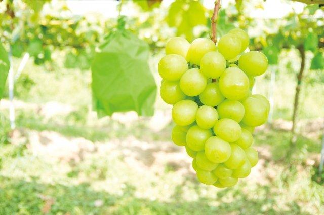 【種苗法まとめ】日本発の高級ブドウのブランド品種「シャインマスカット」等の中国・韓国への流出が深刻化
